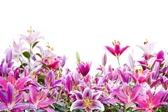 Beautiful pink lily flower isolated on white Royalty Free Stock Images