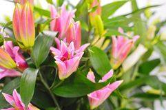 Beautiful pink lily in flower shop. stock photos