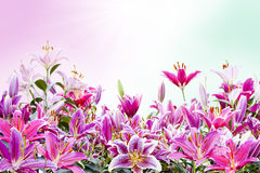Beautiful pink lily flower  on white Stock Photo