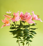 Beautiful pink lily flowers Royalty Free Stock Photo