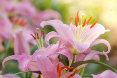 Beautiful pink lily flowers Royalty Free Stock Images