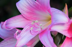 Beautiful pink lily. In the garden Stock Photography
