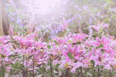 Beautiful pink lily in garden Stock Photo