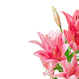 Beautiful pink lily Stock Images