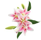 Beautiful pink lily Royalty Free Stock Images