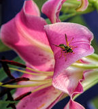 Beautiful pink lily star gazer with a wasp getting nectar Royalty Free Stock Photos