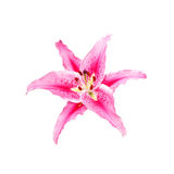 Beautiful pink lily on white background with clipping path Royalty Free Stock Photos