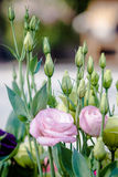 Beautiful pink lisianthus flower Stock Photos