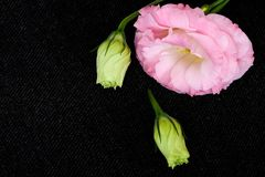 Beautiful pink lisianthus flowers. Closeup on dark cloth background Stock Images