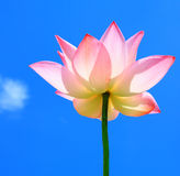 Beautiful pink lotus Stock Images