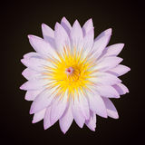 The beautiful pink lotus Royalty Free Stock Photo