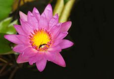 a beautiful pink lotus royalty free stock images