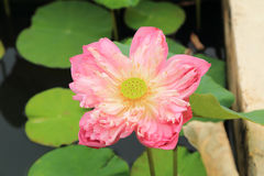 Beautiful pink lotus blooming over water Royalty Free Stock Photos