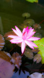 ิbeautiful pink lotus. Beautiful pink lotus blossom in the pond Royalty Free Stock Photo