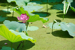 Beautiful pink lotus flower Royalty Free Stock Photos
