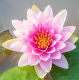 Beautiful  pink  or lotus  flower Stock Photos