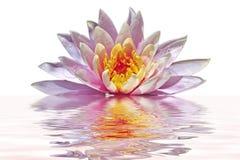 Beautiful pink lotus flower. Floating in water Royalty Free Stock Photo