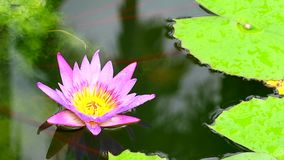Beautiful pink lotus flower blooming on the water in pond stock video footage