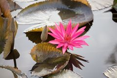 Beautiful pink lotus flower blossom in the natural pond Stock Photos