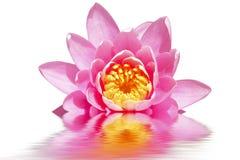 Beautiful pink lotus flower. Floating in water Stock Photo