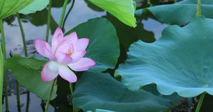 Beautiful pink lotus flower with green leaves in pond. Beautiful pink lotus flower with green leaves growing in pond stock video footage