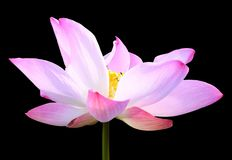 Beautiful pink lotus flower isolated on black. Saved with clippi Stock Photos