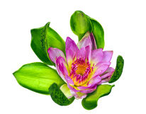 Beautiful pink lotus flower isolated Royalty Free Stock Image