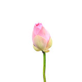 Beautiful pink lotus flower isolated on white. Saved with clippi. Beautiful pink lotus flower isolated on white background. Saved with clipping path (Lotus used Stock Images