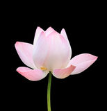 Beautiful pink lotus flower isolated on white. Saved with clippi Royalty Free Stock Photo