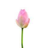 Beautiful pink lotus flower isolated on white. Saved with clippi Stock Images