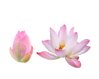 Beautiful pink lotus flower isolated on white. Saved with clippi Royalty Free Stock Image