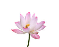 Beautiful pink lotus flower isolated on white. Saved with clippi Royalty Free Stock Photos