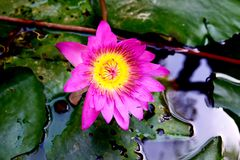 Beautiful pink lotus flower in pond royalty free stock images
