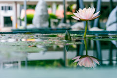 Beautiful pink lotus flower in pond with reflection in water Royalty Free Stock Image