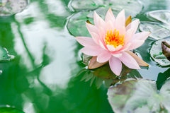 Beautiful pink lotus flower in pond Royalty Free Stock Photo