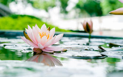Beautiful pink lotus flower in pond Stock Images