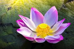 A beautiful pink lotus flower or lotus flower in the pool stock photo