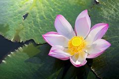 A beautiful pink lotus flower or lotus flower in the pool royalty free stock photos