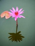 Beautiful pink lotus flower Royalty Free Stock Image