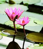 Beautiful pink lotus flower Royalty Free Stock Photography