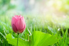 ฺBeautiful pink lotus flower with sunshine in the morning royalty free stock photography