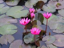 Beautiful pink Lotus flower Stock Photography