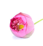 Beautiful  pink  Lotus flower on white background Royalty Free Stock Photography