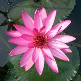 Pink lotus and grean leaves royalty free stock images