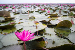 Beautiful pink lotus flowers in the lake Stock Image