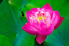 Beautiful pink lotus flowers Stock Photography