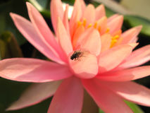 Beautiful pink lotus with fly Stock Photo