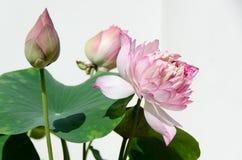 Beautiful pink lotus royalty free stock photo