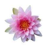 Beautiful pink lotus isolated on white background. Stock Photo