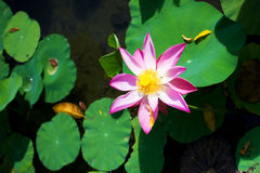 Beautiful pink lotus Royalty Free Stock Photography